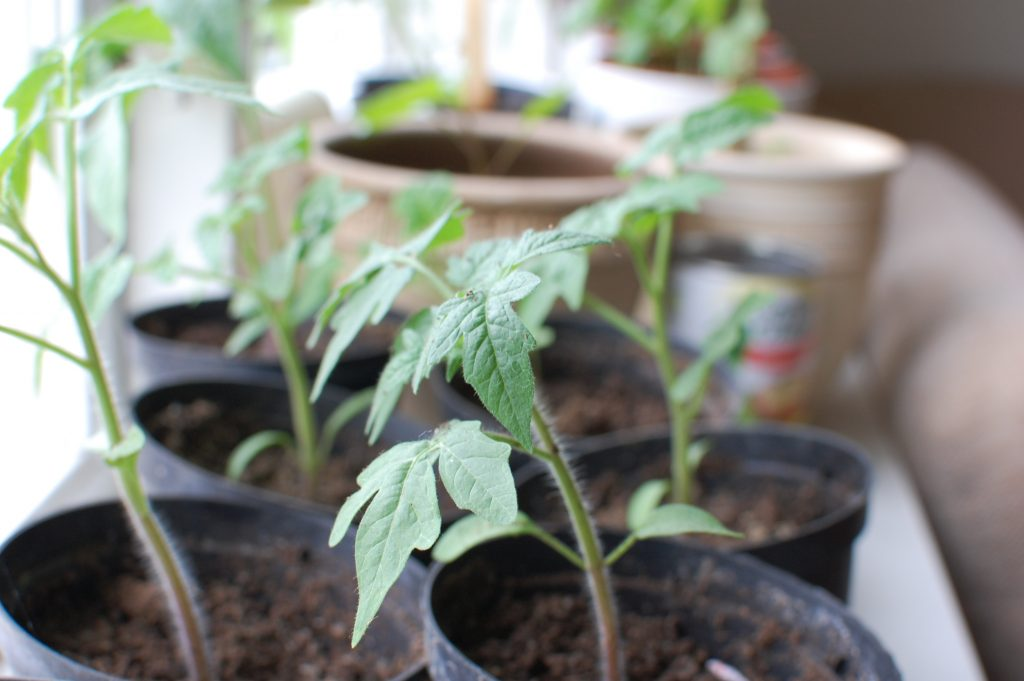 driva upp plantor